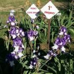 SPIRIT RIDER, Schreiner's Iris Garden (USA)