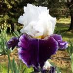 JUST THE TICKET, Schreiner's Iris Gardens (USA)