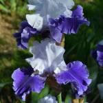 DRIFTING, Schreiner's Iris Garden (USA)