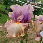 ENRAPTURED, Schreiner's Garden (USA)